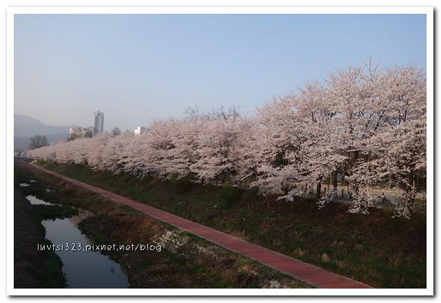 양재천벚꽃16