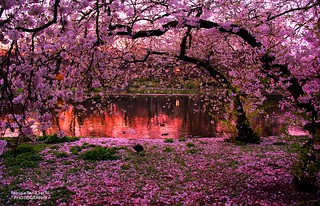 Sunset on the blossoms