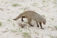 Mongoose @ Chobe Riverfront (Zsuzsa Poór) Tags: africa animal wildlife botswana chobe animalplanet mongoose wildlifeafrica canonistas canoneos7d canonef70200mmf28lisusmii