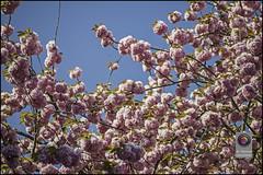 Bonn-Kirschbluete-11 (kurvenalbn) Tags: deutschland bonn pflanzen blumen nordrheinwestfalen frühling kirschbluete