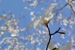 kobushi_dsc_0972 (takao-bw) Tags: plant flower japan spring magnolia kobushi