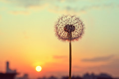 Flower sunrise (Bomm Green) Tags: city flower sunrise dandelion closeups