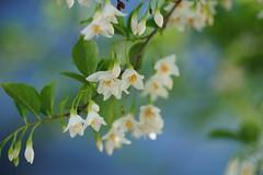 /Styrax japonica (nobuflickr) Tags: kyoto kiyamachi japa styraxjaponica japanesesnowbell japanesestorax awesomeblossoms   20150503dsc02157