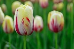 Keukenhof (l-vandervegt) Tags: flowers holland netherlands tulips nederland bloemen keukenhof tulpen lisse 2015