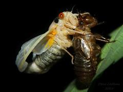 So it begins(2 of 5) (Urutu_From_SW_PA) Tags: cicada magicicada periodicalcicada magicicadaseptendecim 17yearperiodicalcicada
