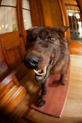 Big Bad Wolf (Paige Rice) Tags: toronto canon taxidermy spadinamuseum dot15 19201930style historichousegarden doorsopen2015