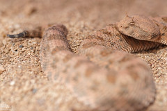 Cerastes cerastes (MP7Aquit) Tags: trip macro sahara nature field  reptile snake wildlife sony full morocco 99 maroc frame 28 serpent alpha tamron viper marruecos snakes 90 ff slt herp poisonous venomous serpents horned occidental vibora serpente 2015 cornes serpentes 24x36 venon venimeux vipre venin venimous herping tamronspaf90mmf28dimacro saharahornedviper viprecornes herpto herpeto  sonya99 sonyalpha99