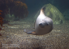 DSC_8308 (slamto) Tags: australia sydneyaquarium sydneysealifeaquarium seal