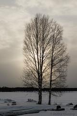 50-Kukkolankoski-05 copy (Beverly Houwing) Tags: sunset silhouette suomi finland frozen lapland kukkola birchtree tornioriver