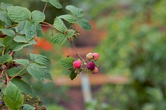 74 (_T_Willi_95) Tags: summer fruit garden michigan growing raspberries photograghy lakeorion canont3i rebelt3i