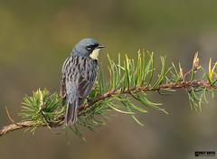 Kirtland's Warbler (Corey Hayes) Tags: warbler endangered male morning jackpine songbird nature setophagakirtlandii