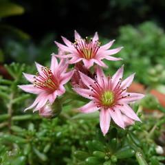 Huislook / Houseleek (JdRweb) Tags: plant flower flora bloem sonydscrx100