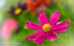 Sweet Summer Hope of a Star... (frederic.gombert) Tags: pink light red summer sun sunlight plant flower macro garden star spring nikon cosmos greatphotographers d810 macrodreams