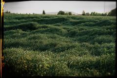 Field (minu_minu) Tags: nature priroda colza rapeplant field summer