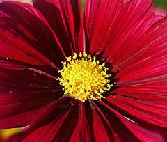 Heart of the Cosmos. (Through Serena's Lens) Tags: cosmos macro red pollen yellow