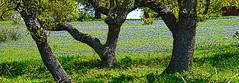 Wildflowers Texas Hills DSC_5908 (JKIESECKER) Tags: flowers wildflowers texas texashillcountry sanantoniotexas austintexas nature landscapes