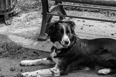 Lilou (Floramon) Tags: lilou chien hund dog sw bw nb
