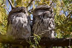 You captured that didn't you ? (Luke6876) Tags: tawnyfrogmouth frogmouth bird animal wildlife australianwildlife