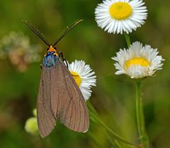 Virginia Ctenuchid day-flying moth (ML Rasmussen) Tags: moth dayflyingmoth virginiactenuchid ctenuchavirginica macro nikond5500 citrit