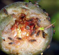 Vinegar Fly, Drosophilidae sp. (Siene Browne) Tags: closeup macro outdoors drosophilidae vinegarfly eating fig foodchain