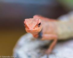 Chameleon (yaten_singh) Tags: angry chameleon redchameleon