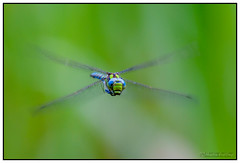 flying  green hawker (merstling) Tags: summer lake macro green nature water animal closeup creek insect fly flying eyes little dragonfly wildlife wing hawkers aeshnidae aeshnaviridis greenhawker