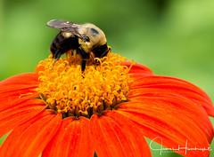 Macro Bee (jhambright52) Tags: macroflowers macrobee