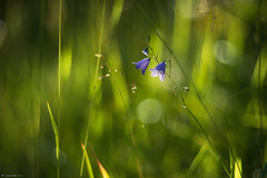 Campanule (Laurette.C) Tags: helios85mmf15 campanule fleur objectif lumire nature