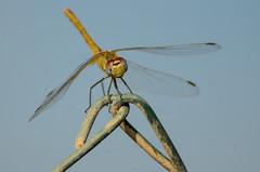 miss simpata (Santi BF) Tags: sympetrumfonscolombii sympetrum liblula libllula dragonfly odonato odonata anisptero anisoptera bicho bug closeup