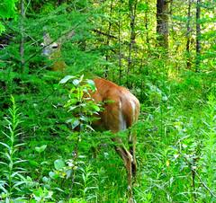 She Thinks She's Hiding - White-tailed Deer - Drummond Island - Upper Peninsula - Michigan (Mikel Classen) Tags: whitetailed deer doe drummondisland chippewacounty upperpeninsula michigan