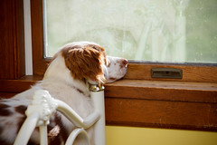 A Lazy Sunday (rlgidbiz1) Tags: orange dog pet white love window yellow squirrel brittany flash camouflage strobe brittanyspaniel