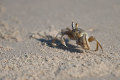 DSC00958 (bene venire) Tags: sea tufted ghost crab