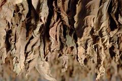 Tobacco (Iulian Dumitru) Tags: tobacco leaves dry cigars cuba brown