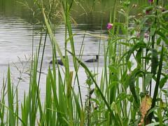 Drumpellier Loch (rbjag71) Tags: drumpellier loch bird lanarkshire