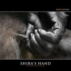SHIRA'S HAND (Matthias Besant) Tags: affe affen affenblick affenfell animal animals ape apes fell hominidae hominoidea mammal mammals menschenaffen menschenartig menschenartige monkey monkeys primat primaten saeugetier saeugetiere tier tiere trockennasenaffe primates querformat gorilla zoo zoofrankfurt matthiasbesant shira hand hessen deutschland