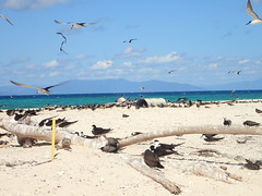 Sooty terns on Michaelmas Cay (dracophylla) Tags: michaelmascay greatbarrierreef queensland australia