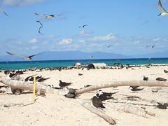 Sooty terns on Michaelmas Cay (dracophylla) Tags: michaelmascay greatbarrierreef queensland australia