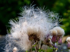 Thistle Down (rustyruth1959) Tags: outdoor nature seeds plant thistledown thistle tamron16300mm nikond3200 nikon flower purple green dof yorkshire ripponden prickles furry