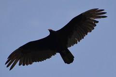 Canada 2016  Niagara Falls  Turkey vulture (Michiel2005) Tags: turkeyvulture roodkopgier gier turkeybuzzard johncrow carrioncrow kalkoengier vogel dier animal bird niagarafalls canada ontario usa