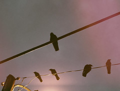 watchful (annapolis_rose) Tags: greatervancouver burnaby roost crowroost crows dusk powerlines streetlight