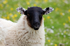 Spotty lugs/Polka dots (mootzie) Tags: backside croft outerhebrides animal lamb blackface dotty ears woolly harris grass green buttercups