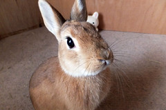 Ichigo san 285  (mensore) Tags: brown bunny cute family ichigo netherland dwarf netherlanddwarf pet rabbit