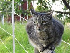 Jonas (ute_hartmann) Tags: jonas kater freund fremderkater