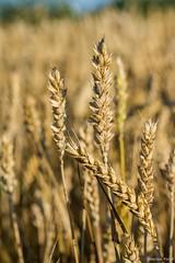 DSC_1137 (Marlon Fried) Tags: macro makro bokeh getreide cereals weizen wheat grain crops field