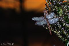 Ailes de diamants (christophe.perraud.44310) Tags: animaux ciel eau gouttes libellules macro odonates insectes nature contrejour rose levdesoleil wildlife anisoptres