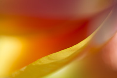 Happy... (setoboonhong) Tags: nature tulip petals outdoor sunlight evening macro colours depth field abstract feeling happy song pharell williams