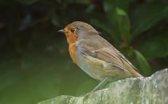 Late Summer Robin (cuppyuppycake) Tags: wildlife nature bird bokeh perch robin outdoors uk london nikon d7200