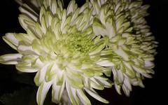 chrysanthemums (space_child) Tags: flowermagic flowerporn naturelower flowerdaily chrysantemums simplybeautiful closeups closeupmagic macroandflowers flowerpower macroshot macros