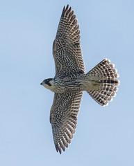 Peregrine Falcon (KHR Images) Tags: peregrinefalcon falcoperegrinus wild bird falcon birdofprey inflight flying ramsey island pembrokeshire wales wildlife nature nikon d7100 fauna kevinrobson khrimages