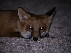 Renard roux (vulpes vulpes) - Red fox (BourrinOman) Tags: renardroux provence